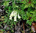 ბუჩქისძირა Corydalis ochroleuca blassgelber Lerchensporn.JPG
