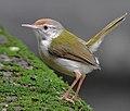 ♀ Common tailorbird (Orthotomus sutorius) Photograph by Shantanu Kuveskar.jpg