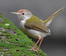 ♀ Common tailorbird (Orthotomus sutorius) Photograph by Shantanu Kuveskar.jpg