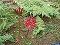 ヒガンバナ(Lycoris radiata) - panoramio.jpg
