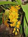 天鵝蘭 Cycnoches loddigesii -香港動植物公園 Hong Kong Botanical Garden- (9213307849).jpg