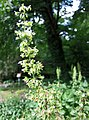 密生酸模 Rumex confertus -華沙大學植物園 Warsaw University Botanic Garden- (36323599041).jpg