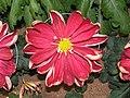 日本一文字菊-王家之印 Chrysanthemum morifolium Japanese-ribbon-series -台北士林官邸 Taipei, Taiwan- (9204832167).jpg