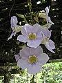 桂葉山牽牛 Thunbergia laurifolia -馬來西亞 Putrajaya Botanical Garden, Malaysia- (9200909930).jpg