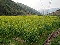 油菜花田 - Rapeseed Farm - 2015.03 - panoramio.jpg