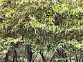 洋紫荊Bauhinia purpurea 20210428210823 01.jpg