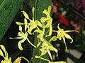 綠羚羊石斛 Dendrobium Hocus-Pocus -香港公園 Hong Kong Park- (9222669882).jpg