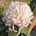 菊花-紫管飛 Chrysanthemum morifolium 'Purple Tubes Flying' -中山小欖菊花會 Xiaolan Chrysanthemum Show, China- (12049306665).jpg