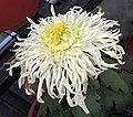 菊花-蘭蕙風姿 Chrysanthemum morifolium 'Graceful Looks' -中山小欖菊花會 Xiaolan Chrysanthemum Show, China- (12064911443).jpg