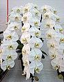 蝴蝶蘭 Phalaenopsis Sogo Yukidian -香港花展 Hong Kong Flower Show- (32907732813).jpg