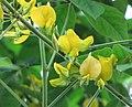 豬屎豆屬 Crotalaria axillaris -比利時 Ghent University Botanical Garden, Belgium- (9213295957).jpg