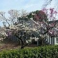 道明寺天満宮・梅園にて 2012.3.16 - panoramio.jpg