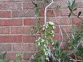 -2019-08-05 Organo (Origanum vulgare) flowers, Trimingham.JPG