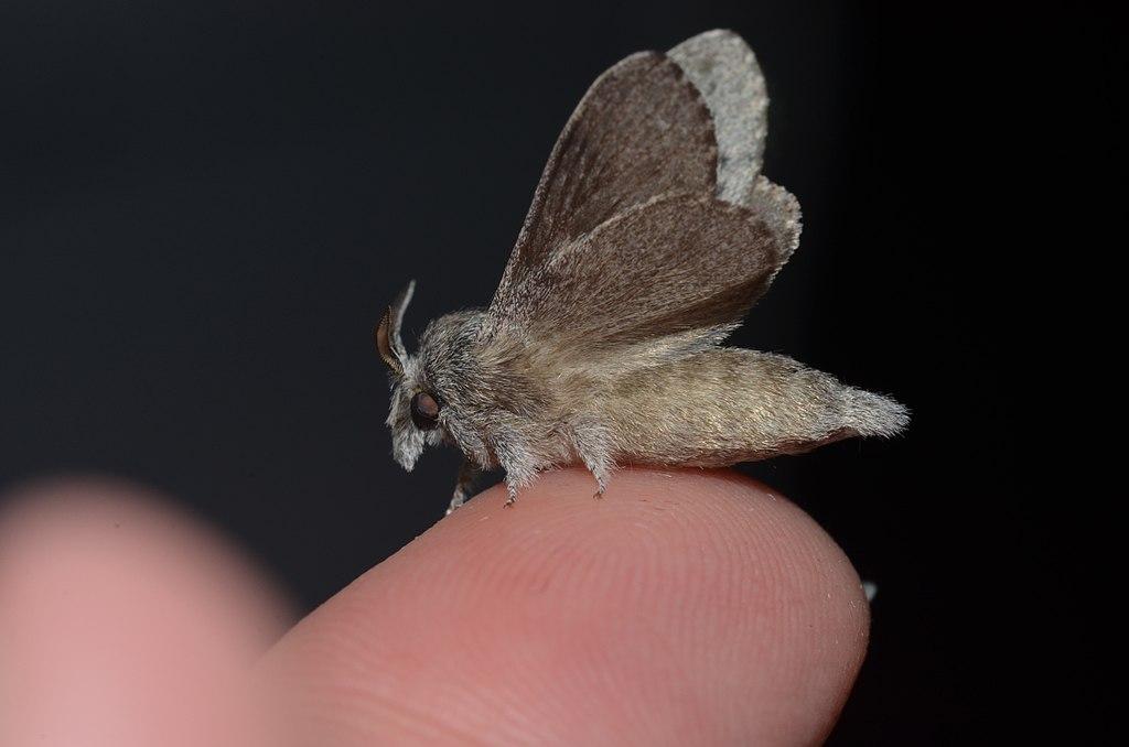 - 7685 – Heteropacha rileyana – Riley's Lappet Moth (20310421869)