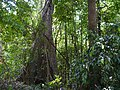 ... buttress root (32427230043).jpg