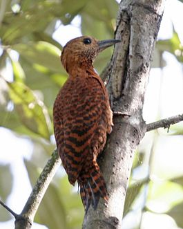 051204 rufous woodpecker knr - Flickr - Lip Kee.jpg