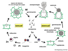 Diagram of the asexual and sexual parts of the Synchytrium endobioticum life cycle.