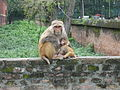 0826 monkey nurse (3048889319).jpg