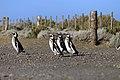 147 - Cap Virgenes - Manchot de Magellan - Janvier 2010.JPG