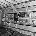 1960 Station Avicole au CNRZ-7-cliche Jean Joseph Weber.jpg