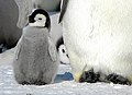 2007 Snow-Hill-Island Luyten-De-Hauwere-Emperor-Penguin-17.jpg