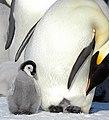 2007 Snow-Hill-Island Luyten-De-Hauwere-Emperor-Penguin-18.jpg