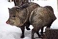 2010-365-28 Pigs! Pigs! Pigs! (4313334110).jpg