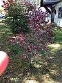 2013-05-04 15 00 32 Flowering plum in bloom near the house at 988 Terrace Boulevard in Ewing, New Jersey.JPG