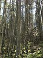 2013-05-10 11 05 52 Dense Atlantic White Cedar swamp along the Mount Misery Trail where it overlaps Butterworth road in Brendan T. Byrne State Forest.jpg