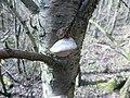 2014-03-01 Phellinus tuberculosus (Baumg.) Niemela 410472.jpg