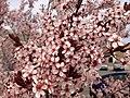 2014-04-21 12 35 45 Flowering plum in Elko, Nevada.JPG