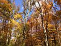 2014-10-30 12 41 06 Trees during autumn in the woodlands along the West Branch Shabakunk Creek in Ewing, New Jersey.JPG