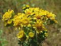 20140613Jacobaea vulgaris1.jpg