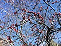 2015-03-27 16 05 19 Purple-leaf plum blossom buds at Great Basin College in Elko, Nevada.JPG