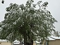 2015-05-07 07 37 44 A willow covered by a late spring wet snowfall on Water Street in Elko, Nevada.jpg