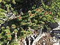 2015-07-13 07 39 42 Foliage and pollen cones on a Great Basin Bristlecone Pine along the North Loop Trail about 5.4 miles west of the trailhead in the Mount Charleston Wilderness, Nevada.jpg