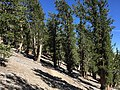 2015-07-13 15 47 43 View east along the North Loop Trail through a grove of Great Basin Bristlecone Pines about 6.7 miles west of the trailhead in the Mount Charleston Wilderness, Nevada.jpg