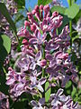 20150423Syringa vulgaris2.jpg