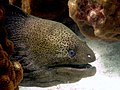 2015 01 Koh Lanta 34 giant moray (15989981433).jpg
