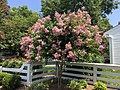 2017-08-02 12 27 29 Crape Myrtle with lavender flowers along Franklin Farm Road in the Franklin Farm section of Oak Hill, Fairfax County, Virginia.jpg