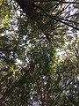 2017-09-10 12 51 49 View up into the canopy of a grove of Eastern Hemlocks between Lake Road and Spring Lake in Berlin, Rensselaer County, New York.jpg