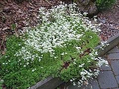2018-05-13 (113) Saxifraga x arendsii (mossy saxifrage) at Bichlhäusl in Frankenfels, Austria.jpg