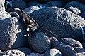 20180805-Galápagos marine iguana at Seymour Norte-2 (9315).jpg