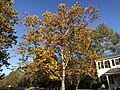 2019-11-02 16 42 01 An American Sycamore in late autumn along Tranquility Lane in the Franklin Farm section of Oak Hill, Fairfax County, Virginia.jpg