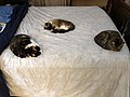 2019-11-03 19 25 53 Three cats lying on a bed in the Franklin Farm section of Oak Hill, Fairfax County, Virginia.jpg