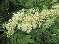 20190618Sorbaria sorbifolia3.jpg