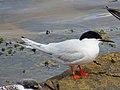 2020-07-18 Sterna dougallii, St Marys Island, Northumberland 16.jpg