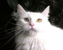 a3119d17b5 Turkish Angora with green eyes