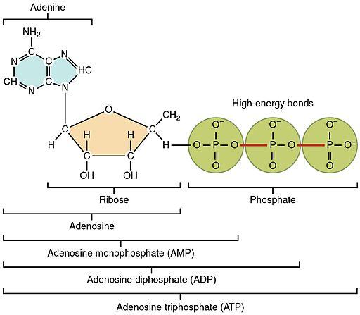 230 Structure of Adenosine Triphosphate (ATP)-01