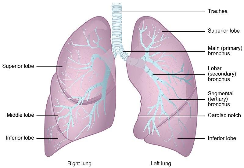 struktur anatomi paru-paru
